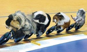 guineapigsbikes